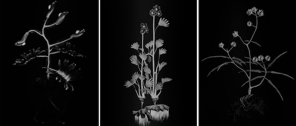 Left: Miljohn Ruperto and Ulrik Heltoft, Voynich Botanical Studies, Specimen 06r Jaro, 2014, gelatin silver prints. Middle: Miljohn Ruperto and Ulrik Heltoft, Voynich Botanical Studies, Specimen 23r Podzim,, 2014, gelatin silver prints. Right: Miljohn Ruperto and Ulrik Heltoft, Voynich Botanical Studies, Specimen 20v Podzim, 2014, gelatin silver prints.  COLLECTION OF THE ARTISTS AND KOENIG & CLINTON, NEW YORK. COURTESY THE ARTISTS AND KOENIG & CLINTON, NEW YORK. PHOTOGRAPHY BY ULRIK HELTOLFT.