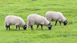 Three Swaledale sheep grazing in Durham, England