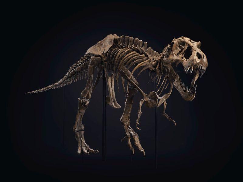 'Stan,' một bộ xương khủng long bạo chúa tại Christie's ở New York.