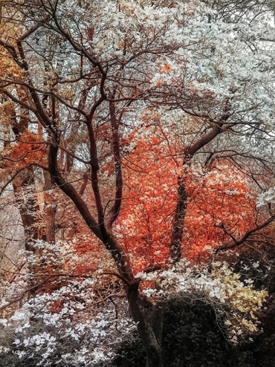 A digital photograph of flowering trees in a forest, where blossoms in the background have been colored a strange shade of orange that enhances the contrast with the white flowers in the foreground